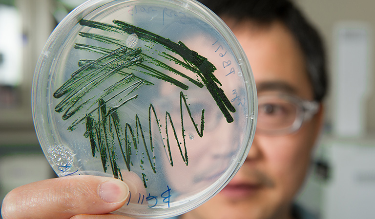 NREL scientist Jianping Yu holds a petri dish of cyanobacteria culture being grown in his lab.