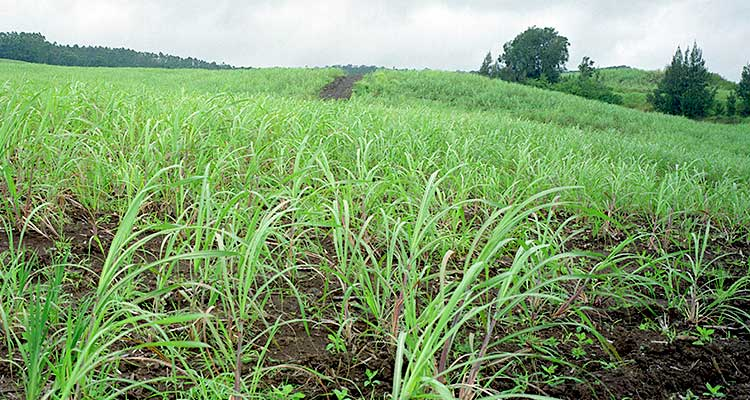 Photo of fields of green, short sugarcane