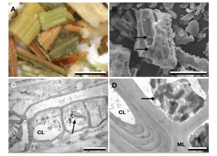 Image of four microscopic images showing: Stereo (A), SEM (B), and TEM (C, D) micrographs highlighting aspects of green harvested Shawnee switchgrass. Many of the native, milled switchgrass particles were green (A). Residual, partly desiccated plant cells can be visualized within the cell lumen by SEM and TEM (BD arrows). CL, cell lumen; ML, middle lamella. Scale bars = 1 mm (A), 100 m (B), 10 m (C), 2 m (D).