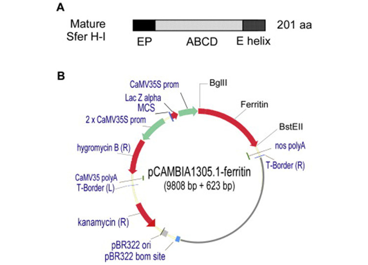An image showing the construct for intracellular expression of soybean ferritin in Arabidopsis. (A) Mature soybean ferritin H-1 (Sfer H-1), which was used for gene synthesis. EP: extension peptide; ABCD and E, 5 helices. (B) Expression construct showing ferritin gene replacing the catalase intron-GusPlus gene cassette in the vector of pCAMBIA1305.1 (www.cambia.org/). The ferritin gene expression was under the control of cauliflower mosaic virus 35S promoter (CAMV35S prom), a strong and constitutive promoter, and the terminator was nopaline synthase (nos) polyA.