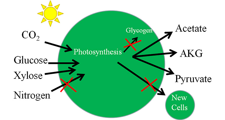 "Illustration with a green sphere in the center; in the upper left is an icon of the sun. On the left side of the sphere are four black arrows of CO2 (pointing specifically to ""Photosynthesis""), Glucose, Xylose, and Nitrogen, all pointing into the center of the large green sphere; the Nitrogen arrow has a red X through it. From ""Photosynthesis"" is a short black arrow with a red X through it pointing to ""Glycogen"" inside of the sphere. A long black arrow with a red X is pointing out of the sphere to the lower right corner and a small green sphere labeled ""New Cells"". Three black arrows area pointing out of the large green sphere at Acetate, AKG, and Pyruvate."