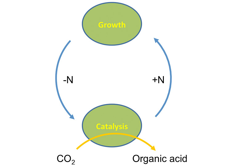 Image of two green spheres: one labeled Growth and the other labeled Catalysis. From Growth theres an arrow labeled N that points to Catalysis; Below Catalysis, an arrow from CO2 points through Catalysis to Organic acid. From Catalysis, theres an arrow labeled +N that points to Growth.