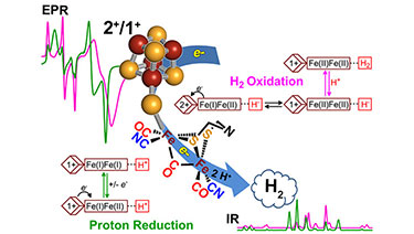 "Illustration labeled ""EPR"" in the upper left above green and purple graph peaks and valleys, leading to a cluster of red and yellow spheres that form a molecule to the right and labeled ""2+/1+."" Behind the red/yellow spheres is a blue arrow and molecular symbols leading to the lower right with ""H2"" in a blue cloud above purple and green graph peaks and valleys labeled ""IR."" In the upper right is a molecular reaction labeled ""H2 Oxidation"" and in the lower left is a molecular reaction labeled ""Proton Reduction."""