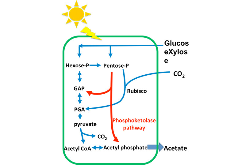 Image of a green, rectangular-shaped outline with an image of a sun outside of it with rays penetrating the outline; on one side of the outline is Glucos exXlyose with an two arrows pointing inside the outline. The first arrow points to Hexose-P > GAP> PGA > pyruvate to CO2 or Acetyl CoA > Acetyl phosphate, which results in Acetate. The second arrow points to Pentose-P > Rubisco >PGA, or Pentose-P to GAP, or Pentose-P through the Phosphokelolase pathway to Acetyl phosphate, which results in Acetate.