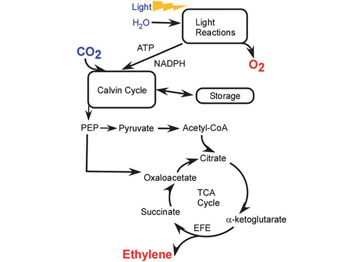 Image showing the pathway for ethylene production in Synechocystis. EFE catalyzes the conversion of the TCA cycle intermediate, -ketoglutarate, into ethylene. A side reaction of the EFE enzyme generates succinate from arginine, forming an alternate to the recently identified 2-OGDC and SSADH pathway for completion of the TCA cycle in cyanobacteria.