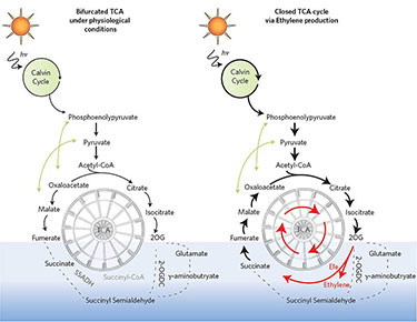 "Side-by-side illustrations of two Calvin cycles (labeled ""bifurcated TCA under physiological conditions"" on the right, and representing a ""broken"" TCA wheel, and ""closed TCA cycle via ethylene production"" on the left, representing the wheel turning again by ethylene production). Both start with an image of the sun that leads to the Calvin cycle which in turn leads to wheel-shaped structures partially submerged in a light blue bar."