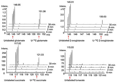 : A series of four graphs in a quadrant showing glutamate, 2-oxoglutarate, succinate, and fumarate peaks of varying heights. The illustration shows the capability of isotope-assisted metabolomics, which is a high-resolution tool for monitoring in vivo metabolic reactions and demonstrating details of biofuel production.