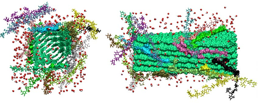 Left: Molecular model of individual chains of hemicellulose (purple and red sticks representation) interacting with a cellulose microfibril (green surface, with chain ends shown in green and red sticks). Right: Snapshot of cellulose microfibril (green surface representation) complexed with galactoglucomannan (GGM) chains (various colors) following 300 ns MD simulation. Bound GGM residues are shown in solid surface model, and unbound GGM residues are shown in stick representation. Hydroxide ions (dissociated from NaOH and responsible for peeling of sugars from polysaccharide chain ends) are shown as spheres (red: oxygen, white: hydrogen).