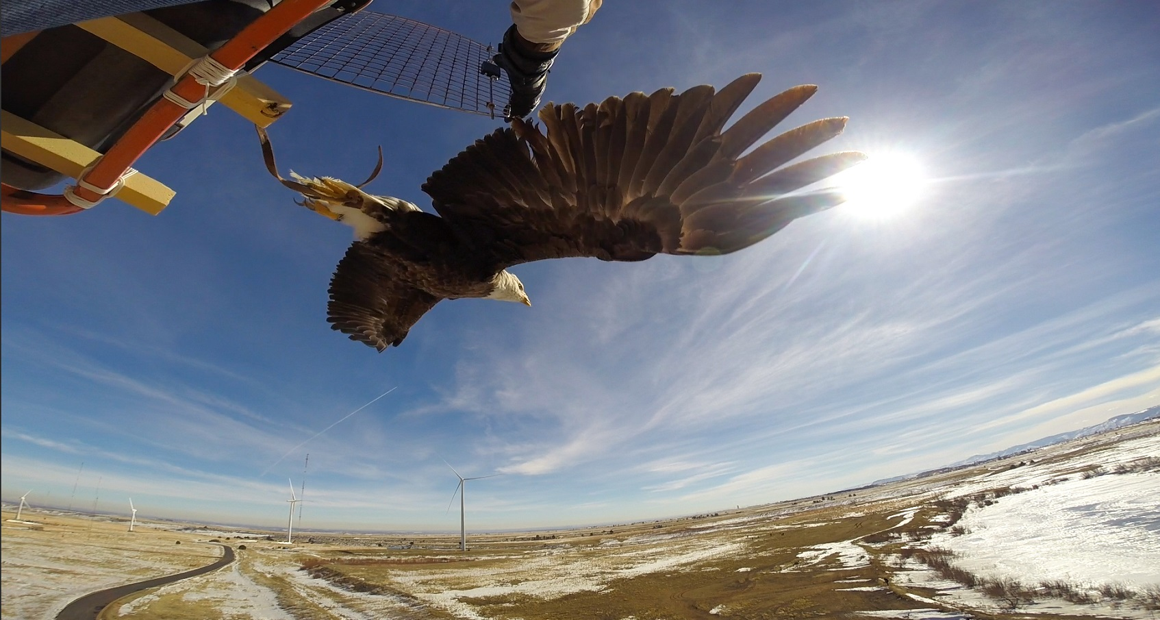 A photo of an eagle flying after being released from a kennel.