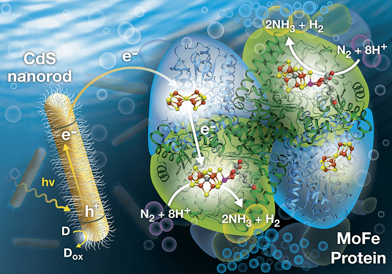 Illustration shows the approach NREL developed to harvest light to produce ammonia.
