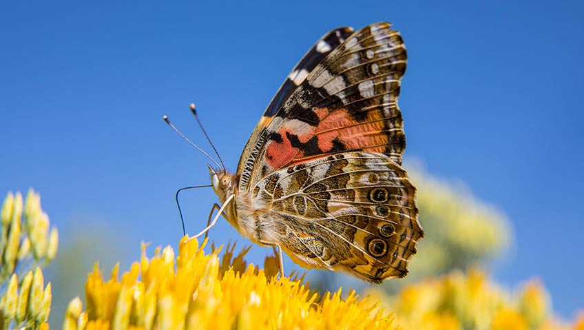 Photo of a brown, white, yellow, and orange butterfly resting on yellow flowers.