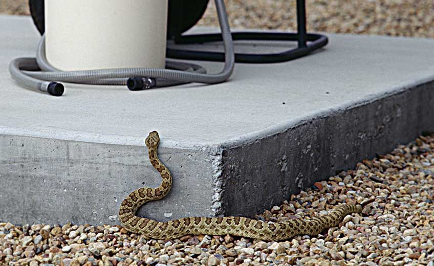 Photo of a snake resting on pebbles, raising its head to look over a concrete platform.