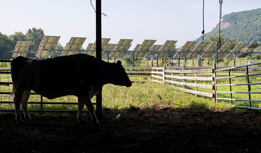 A cow stands in the shade while two rows of solar panels receive sunlight in a nearby field.