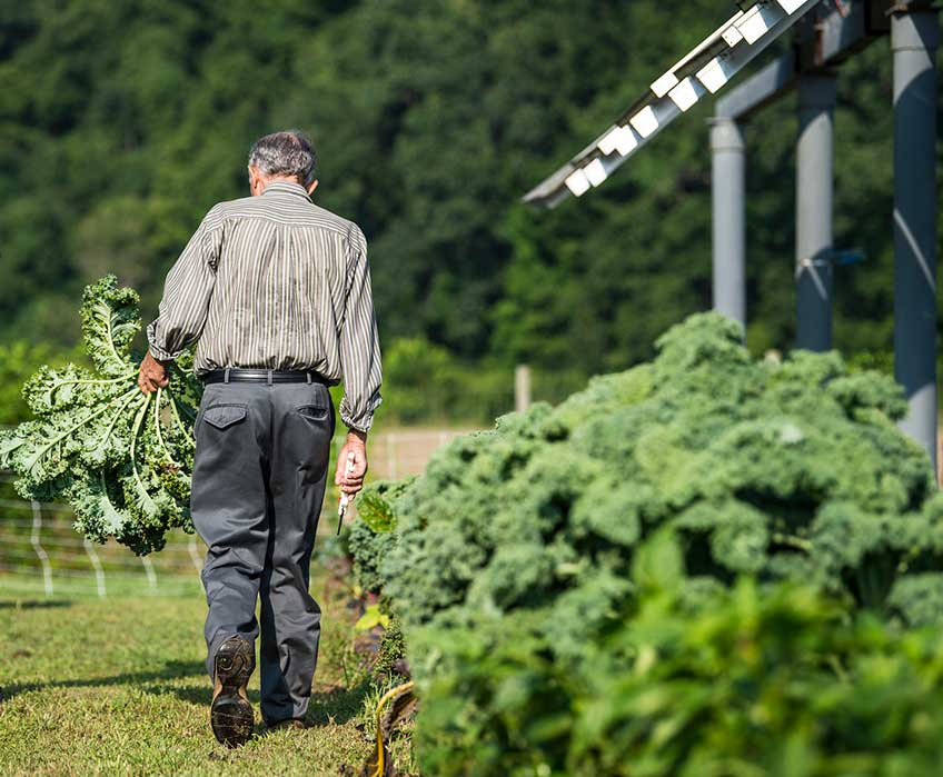 A man carries leafy vegetables as he walks past a row of crops and solar panels.