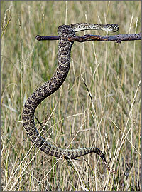 In a photo, a close-up of a rattlesnake about six feet long. The snake is being held in the fork of a stick.