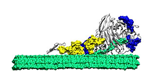 This is an illustration of an enzyme breaking down a biomass molecule.