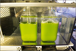 Photo showing two containers of pea-green liquid, with stoppers on top and hoses going through the stoppers.