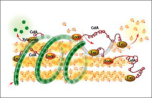 Illustration showing CelA's ability to break down xylose as well as cellulose, doing the work that typically requires several different kinds of enzymes.