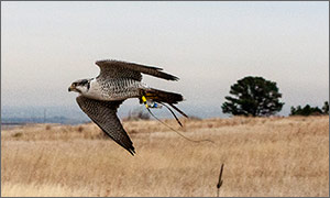 Photo of a flying falcon with monitoring equipment attached.