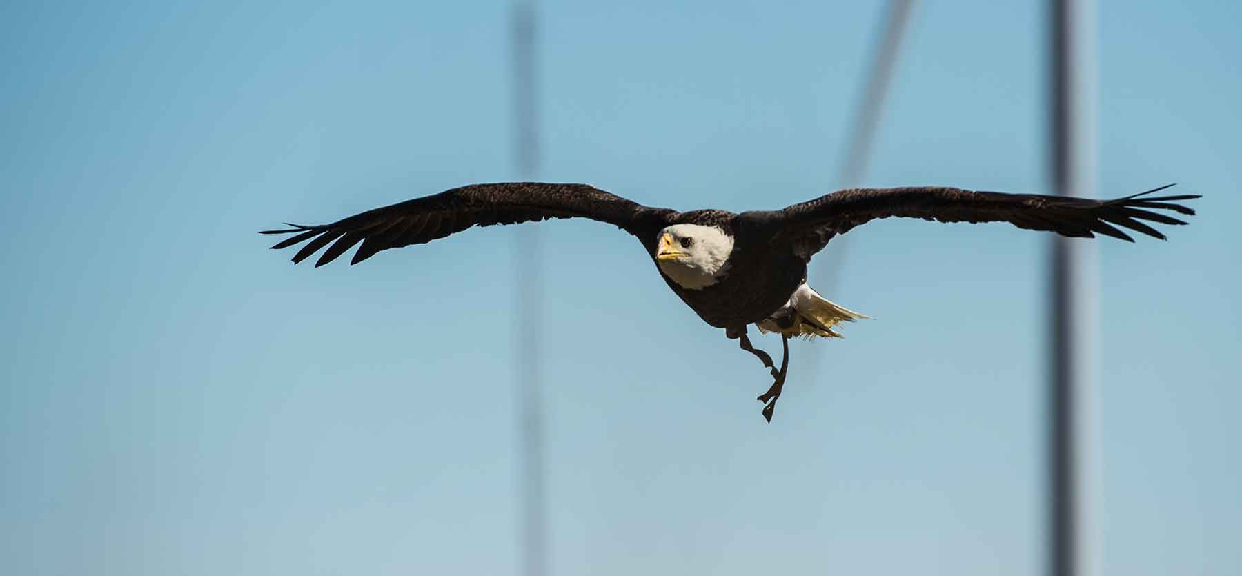 A bald eagle flies through the air in a wind farm. A wind turbine is seen in the background.