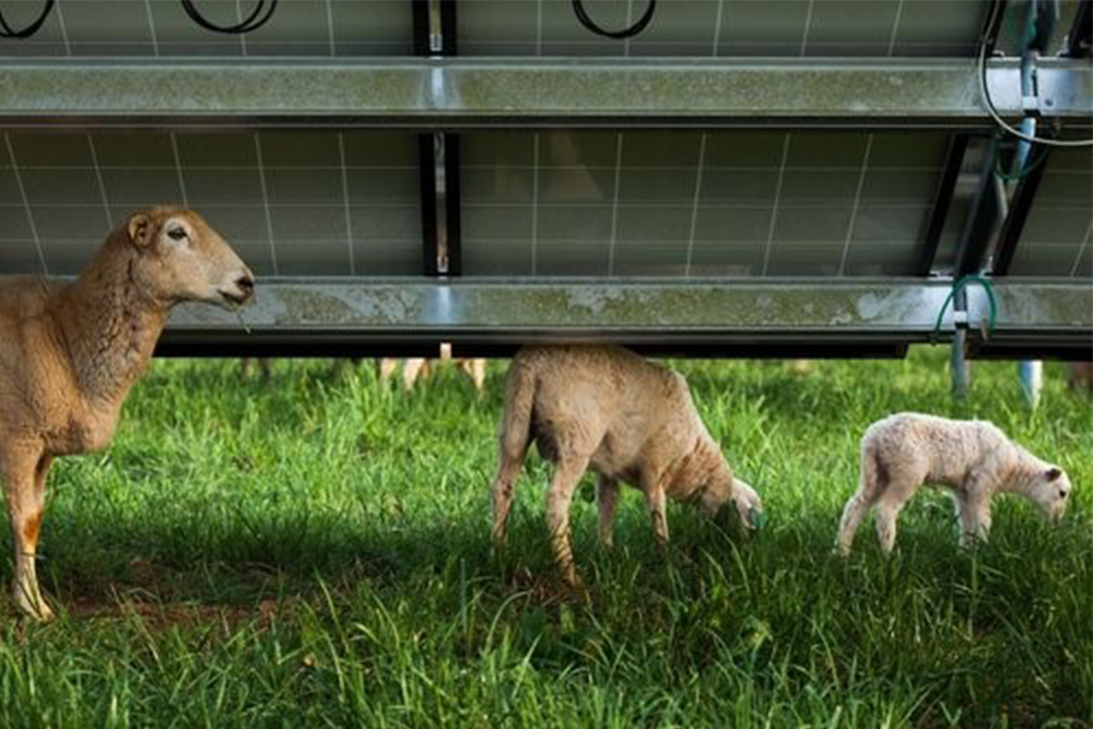 Grazing sheep can help control vegetation height at grount-mounted solar installation sites