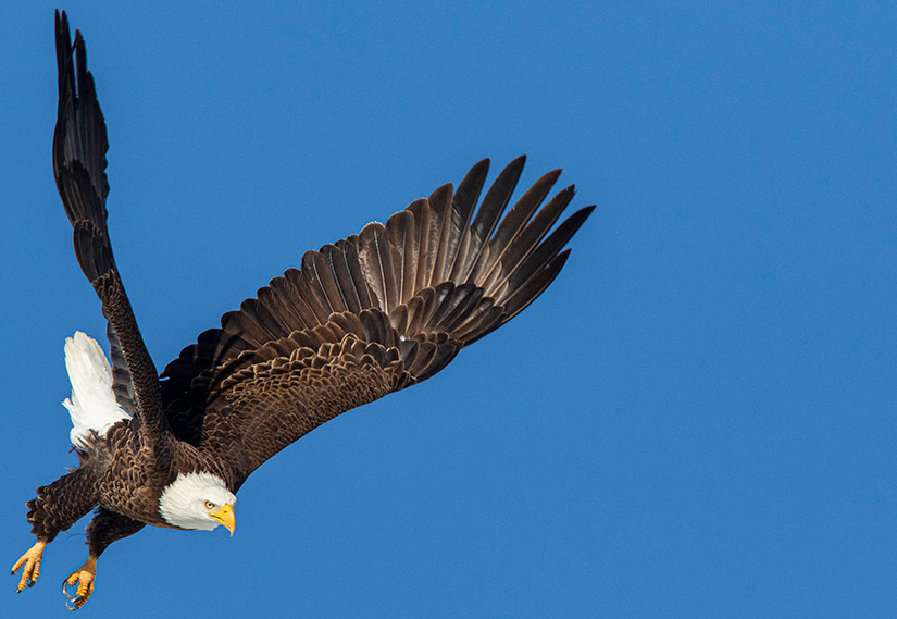 An adult bald eagle takes flight against a bright blue sky.