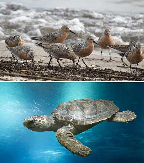 Photos of birds on the sea shore and a tuttle swimming in the ocean.