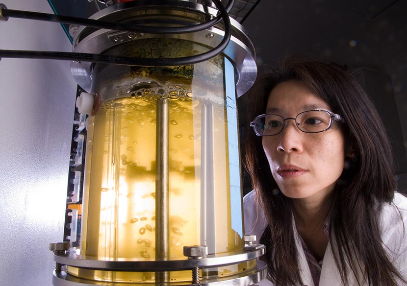 A photo of an NREL researcher studying microalgae as a potential source of biofuels.